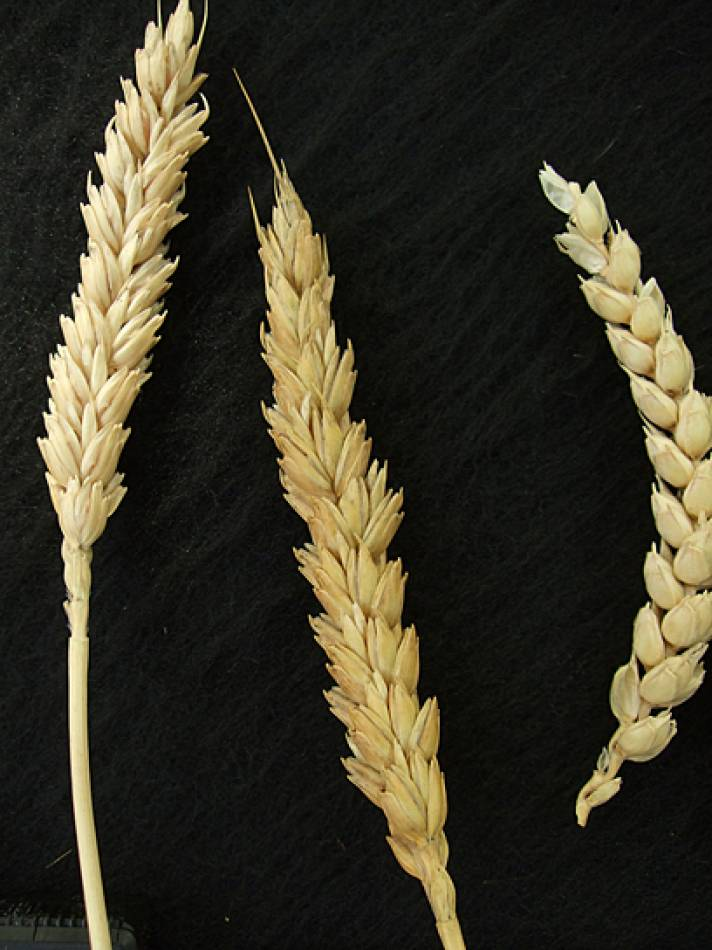 wheat identification images for Madeira types - 1:33pm&nbsp;9<sup>th</sup>&nbsp;Oct.&nbsp;'11