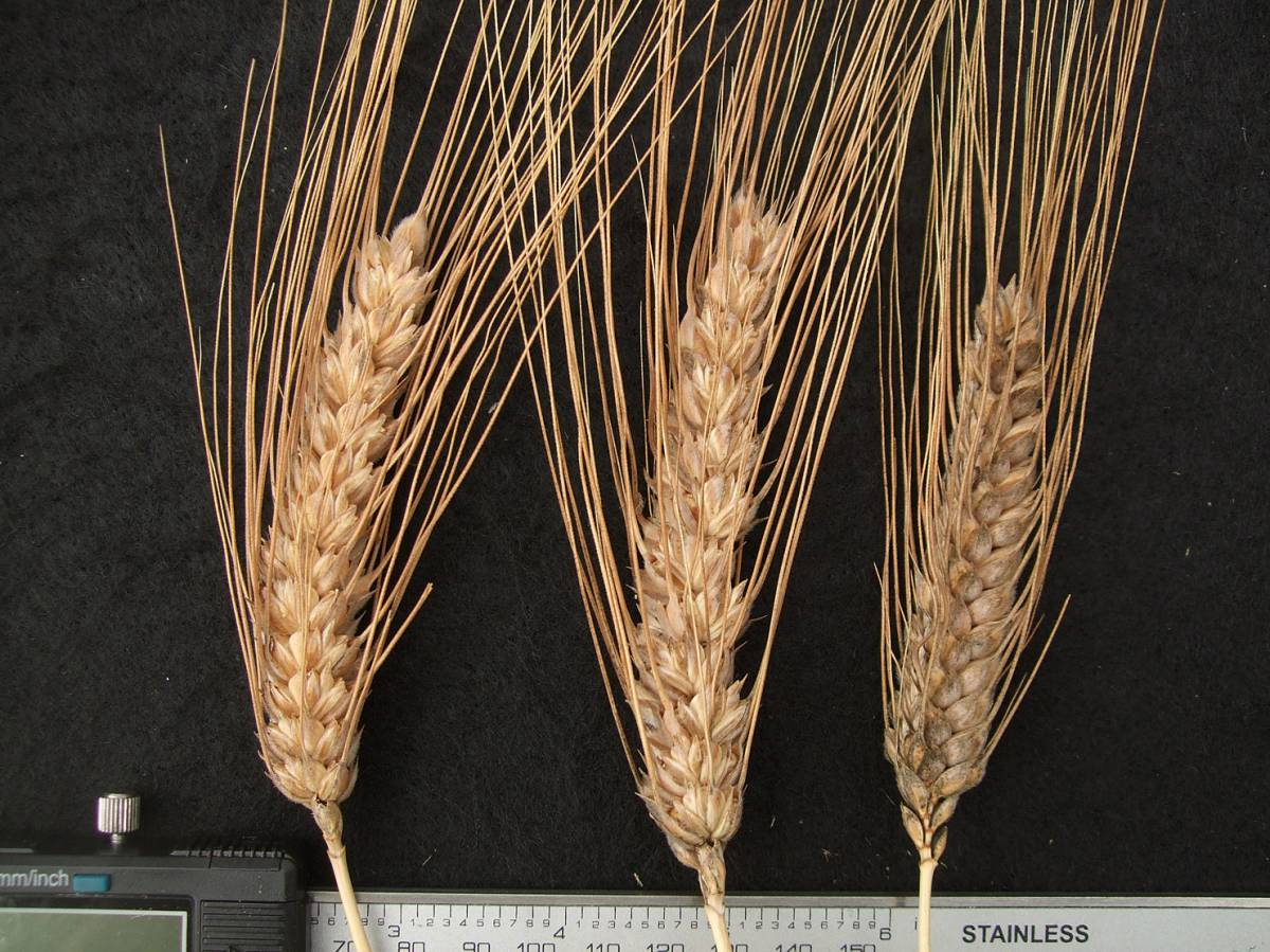 wheat identification images for <a href='http://www.wheat-gateway.org.uk/search.php?send=1&ID=122874&genes=1&bunt_a=1' target='_blank'>Nonette de Lausanne</a> - 10:19am&nbsp;31<sup>st</sup>&nbsp;Aug.&nbsp;'11