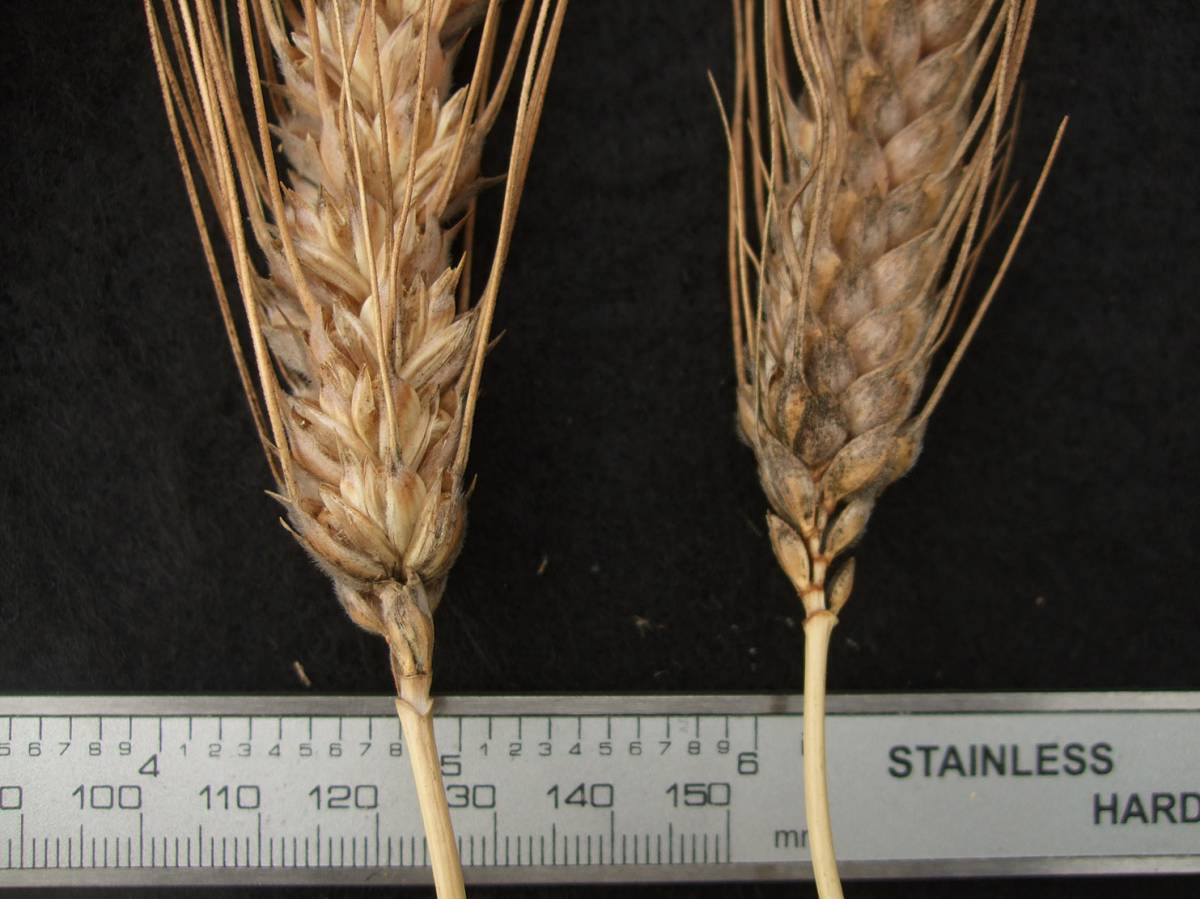wheat identification images for <a href='http://www.wheat-gateway.org.uk/search.php?send=1&ID=122874&genes=1&bunt_a=1' target='_blank'>Nonette de Lausanne</a> - 10:20am&nbsp;31<sup>st</sup>&nbsp;Aug.&nbsp;'11
