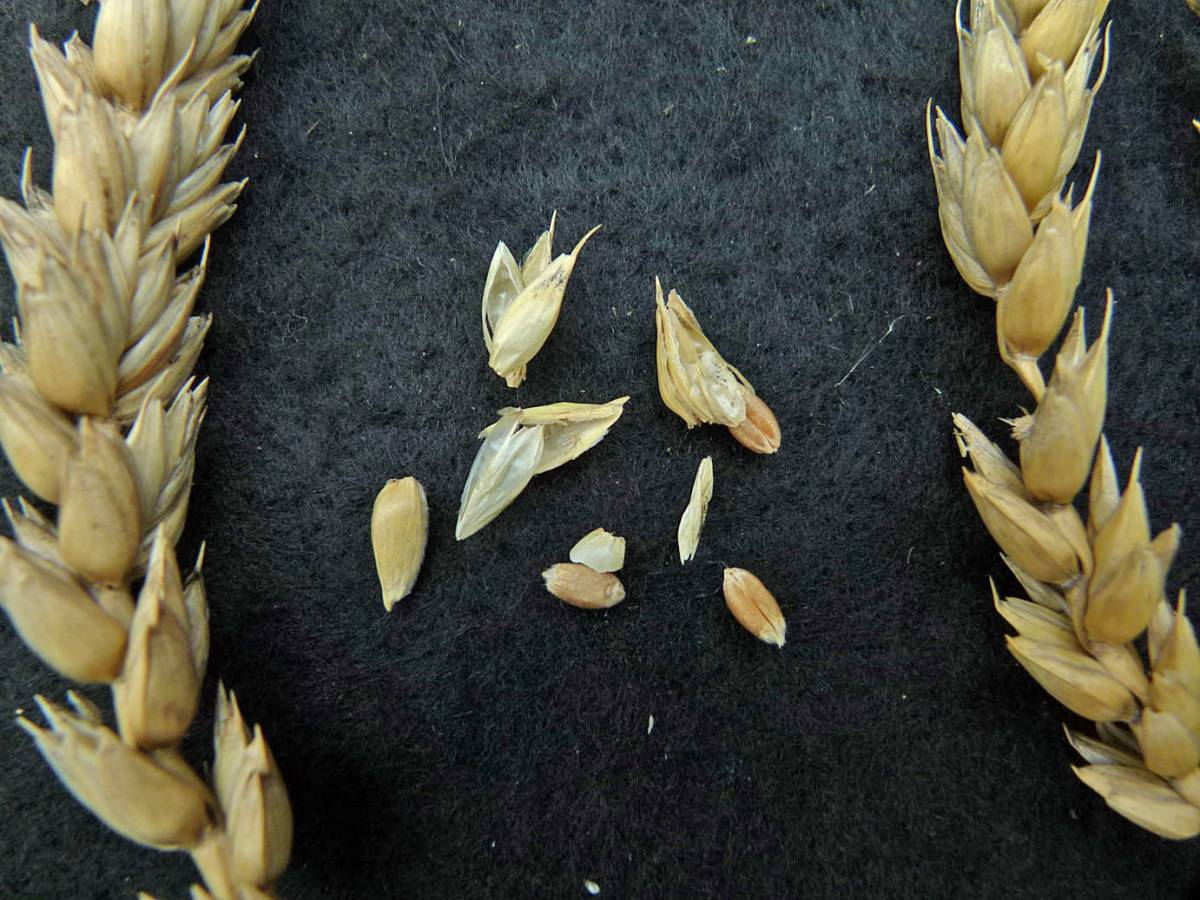 wheat identification images for <a href='http://www.wheat-gateway.org.uk/search.php?send=1&ID=41343&genes=1&bunt_a=1' target='_blank'>Epi Carre Veloute</a> - not a Ble a Duvet type - 12:56pm&nbsp;31<sup>st</sup>&nbsp;Aug.&nbsp;'10