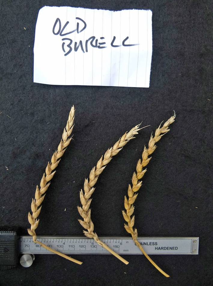 wheat identification images for <a href='http://www.wheat-gateway.org.uk/search.php?send=1&ID=109461&genes=1&bunt_a=1' target='_blank'>Burwell</a> - 11:45am&nbsp;31<sup>st</sup>&nbsp;Aug.&nbsp;'10