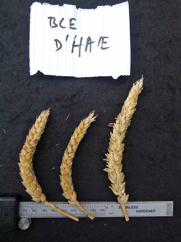 wheat identification images for <a href='http://www.wheat-gateway.org.uk/search.php?send=1&ID=40920&genes=1&bunt_a=1' target='_blank'>Ble d'Haie</a> - a nice example of Ble a Duvet type - 11:35am&nbsp;31<sup>st</sup>&nbsp;Aug.&nbsp;'10