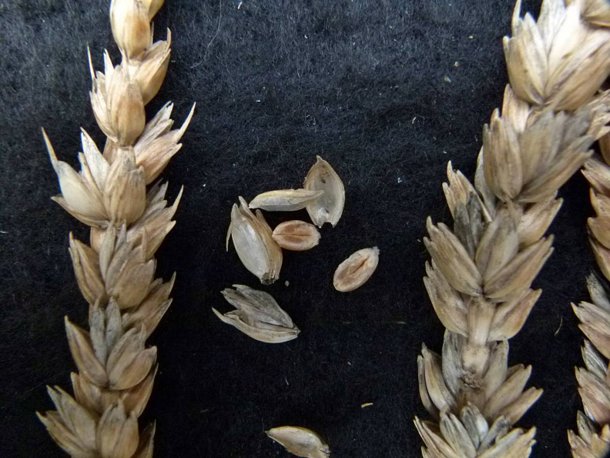 wheat identification images for <a href='http://www.wheat-gateway.org.uk/search.php?send=1&ID=88717&genes=1&bunt_a=1' target='_blank'>Old Kent Red</a> - 11:09am&nbsp;31<sup>st</sup>&nbsp;Aug.&nbsp;'10