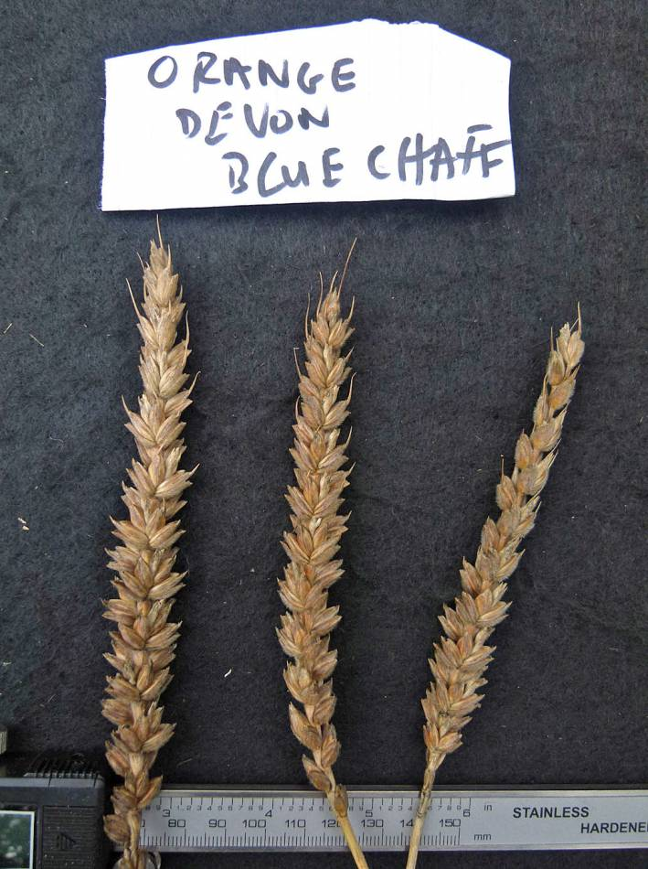 wheat identification images for <a href='http://www.wheat-gateway.org.uk/search.php?send=1&ID=88368&genes=1&bunt_a=1' target='_blank'>Orange Devon Blue Rough Chaff</a> - 11:39am&nbsp;31<sup>st</sup>&nbsp;Aug.&nbsp;'10