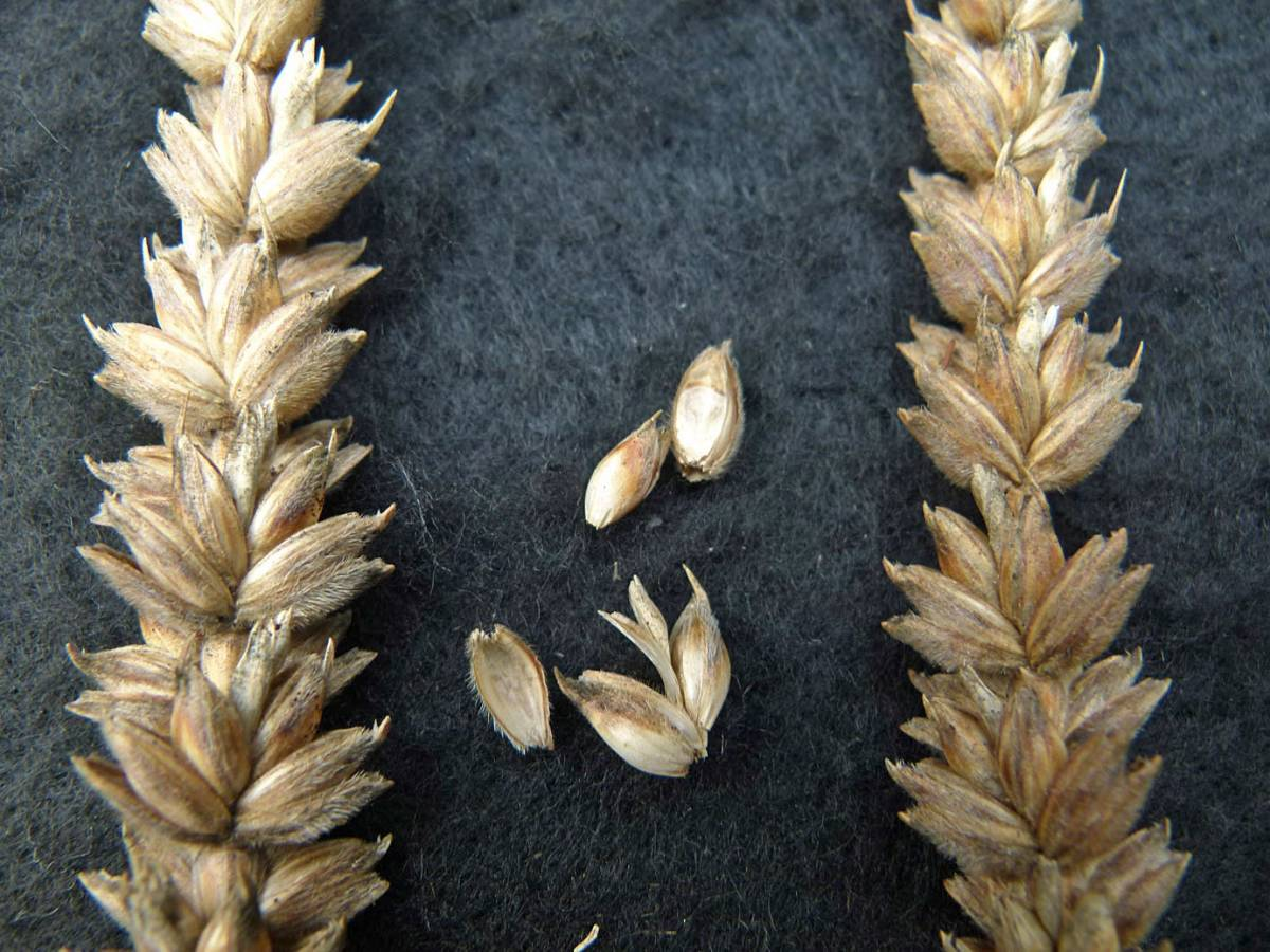 wheat identification images for <a href='http://www.wheat-gateway.org.uk/search.php?send=1&ID=88368&genes=1&bunt_a=1' target='_blank'>Orange Devon Blue Rough Chaff</a> - 11:40am&nbsp;31<sup>st</sup>&nbsp;Aug.&nbsp;'10
