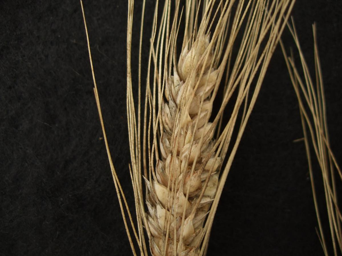 wheat identification images for Poulard d'Italie - 4:54pm&nbsp;30<sup>th</sup>&nbsp;Aug.&nbsp;'11