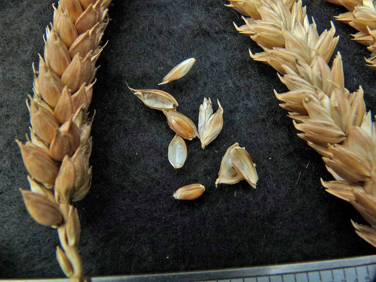 wheat identification images for <a href='http://www.wheat-gateway.org.uk/search.php?send=1&ID=109297&genes=1&bunt_a=1' target='_blank'>Prince Albert</a> - 1:35pm&nbsp;31<sup>st</sup>&nbsp;Aug.&nbsp;'10
