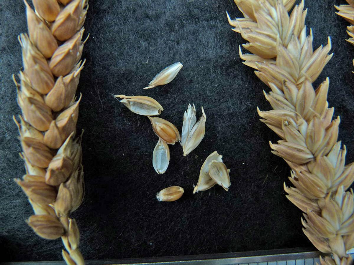 wheat identification images for <a href='http://www.wheat-gateway.org.uk/search.php?send=1&ID=109297&genes=1&bunt_a=1' target='_blank'>Prince Albert</a> - 1:36pm&nbsp;31<sup>st</sup>&nbsp;Aug.&nbsp;'10