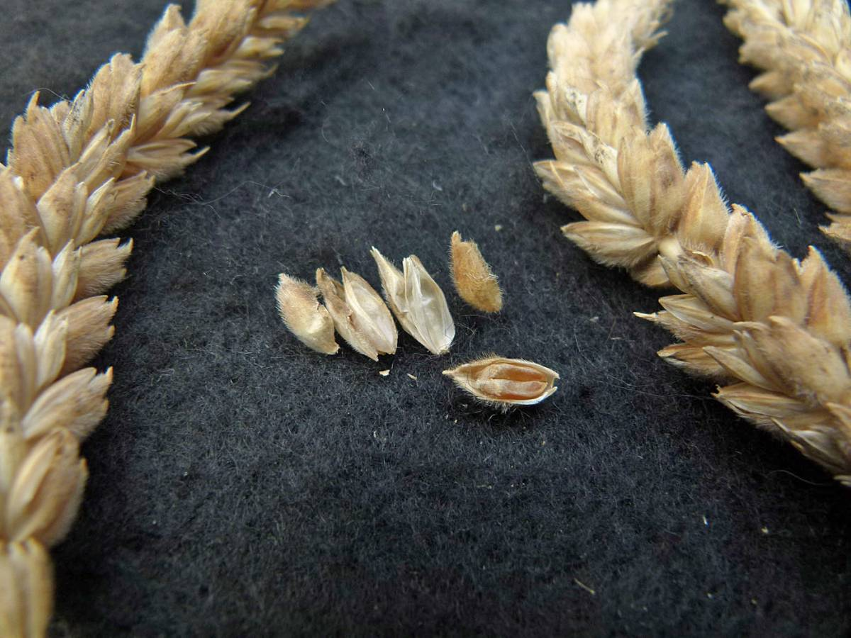 wheat identification images for <a href='http://www.wheat-gateway.org.uk/search.php?send=1&ID=88385&genes=1&bunt_a=1' target='_blank'>Red Stettin</a> - 12:47pm&nbsp;31<sup>st</sup>&nbsp;Aug.&nbsp;'10