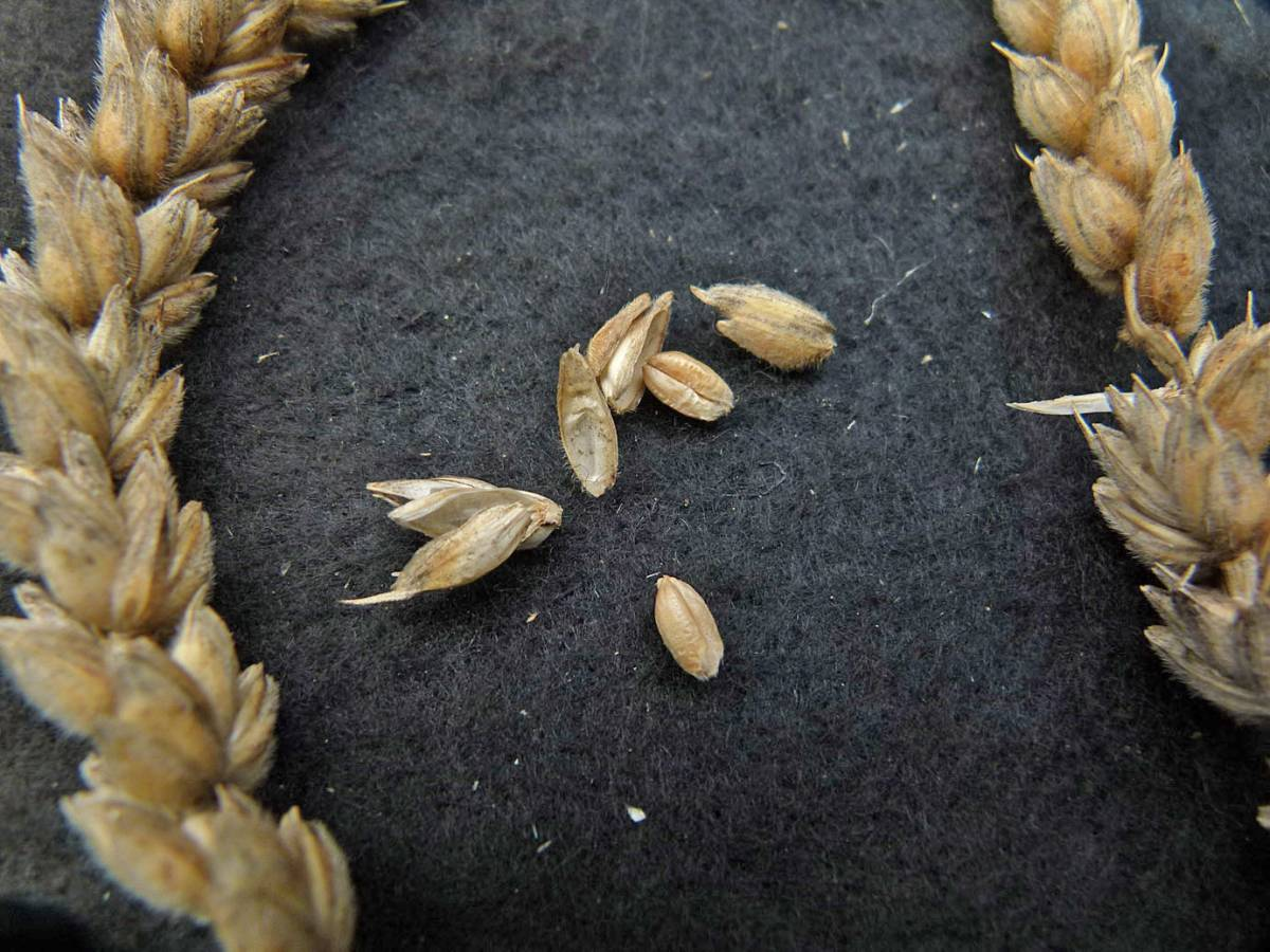 wheat identification images for <a href='http://www.wheat-gateway.org.uk/search.php?send=1&ID=66125&genes=1&bunt_a=1' target='_blank'>Red Velvet Chaff</a> - 12:59pm&nbsp;31<sup>st</sup>&nbsp;Aug.&nbsp;'10
