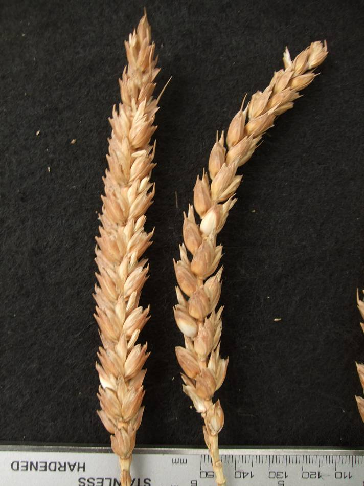 wheat identification images for Redon B320 - 5:29pm&nbsp;30<sup>th</sup>&nbsp;Aug.&nbsp;'11