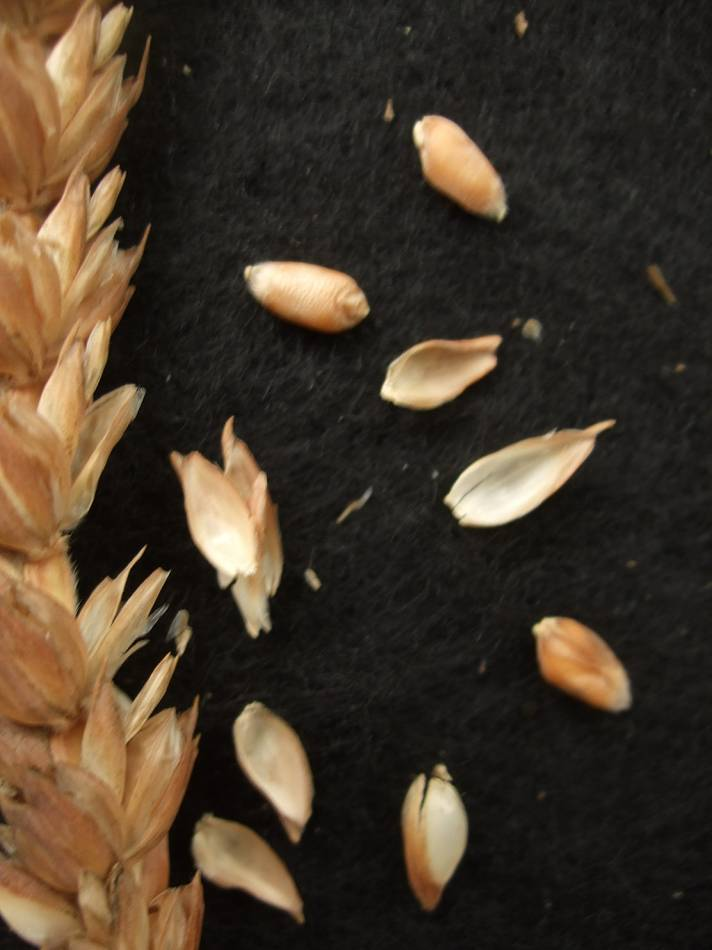wheat identification images for Redon B320 - 5:31pm&nbsp;30<sup>th</sup>&nbsp;Aug.&nbsp;'11
