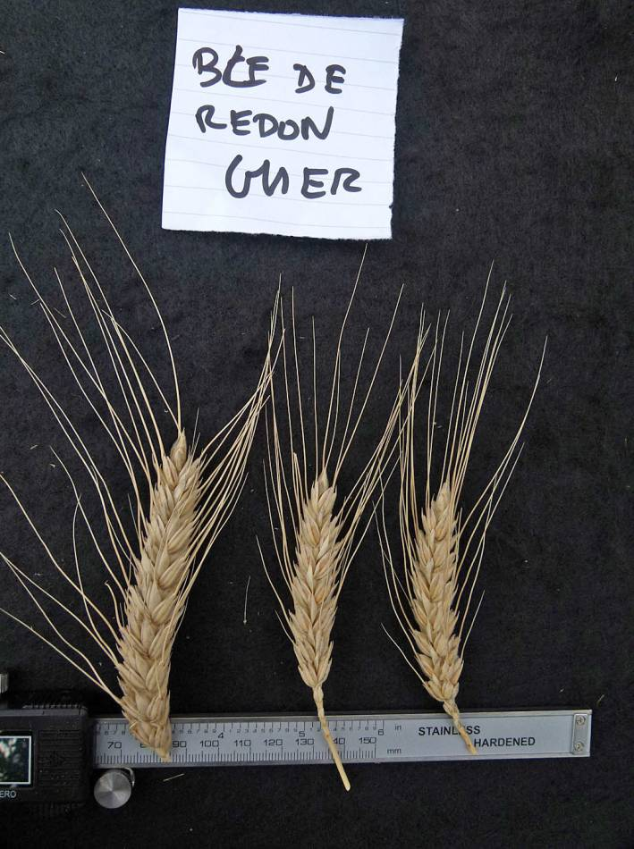 wheat identification images for Ble de Redon Guer - 1:05pm&nbsp;31<sup>st</sup>&nbsp;Aug.&nbsp;'10