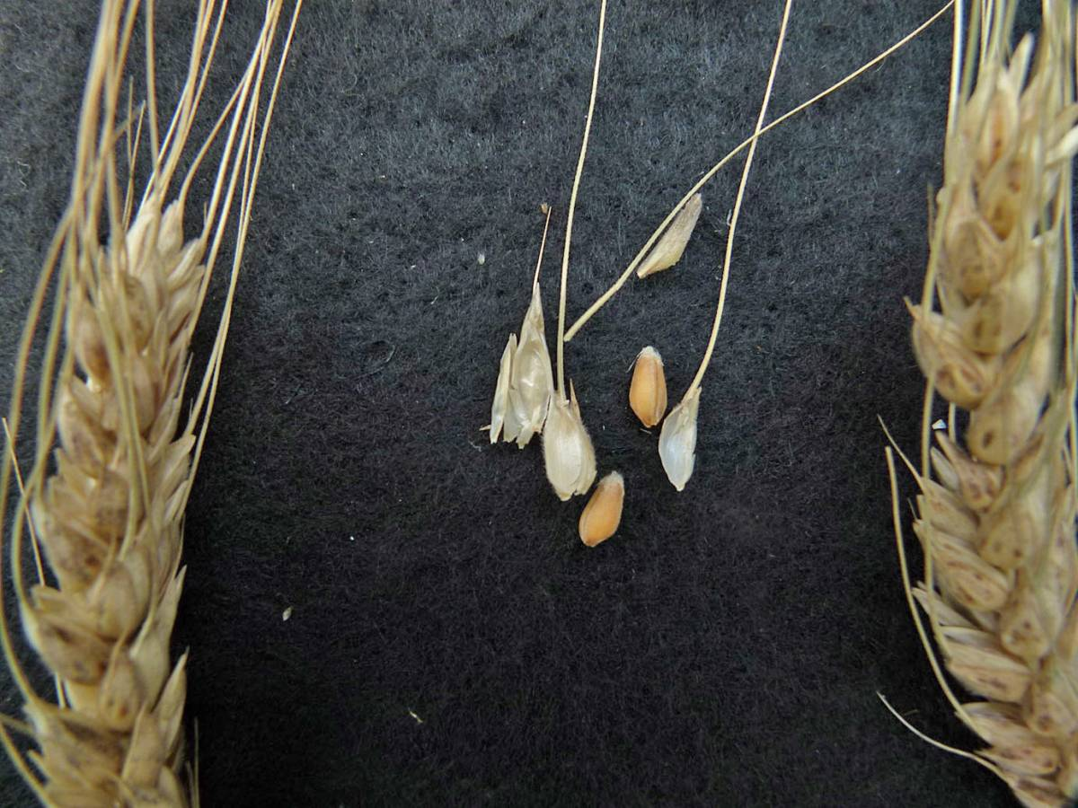 wheat identification images for Ble de Redon Guer - 1:40pm&nbsp;31<sup>st</sup>&nbsp;Aug.&nbsp;'10