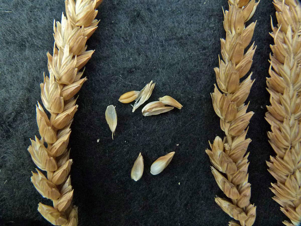 wheat identification images for Rouge de Bourdeaux - 11:13am&nbsp;31<sup>st</sup>&nbsp;Aug.&nbsp;'10