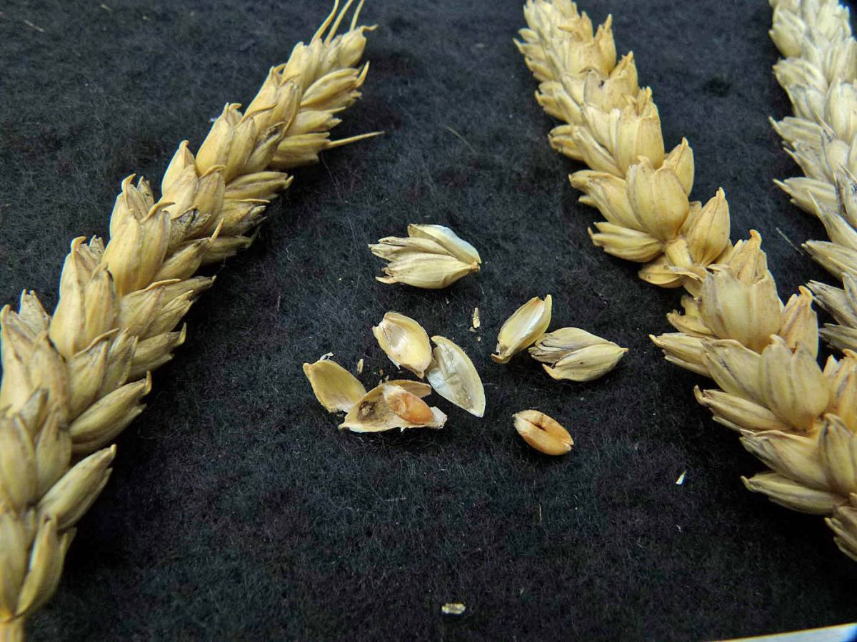 wheat identification images for Goldendrop UK 10035 from <a href='http://www.wheat-gateway.org.uk/search.php?send=1&ID=41438&genes=1&bunt_a=1' target='_blank'>INRA (FR)</a> with yellow ear in dry summer - 12:27pm&nbsp;31<sup>st</sup>&nbsp;Aug.&nbsp;'10