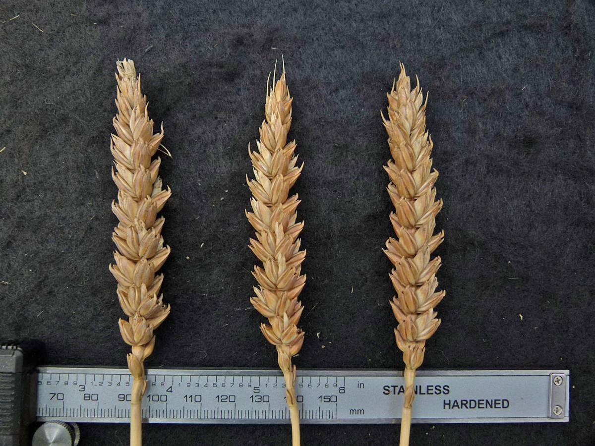 wheat identification images for Rouge d'Ecosse UK 10036 from <a href='http://www.wheat-gateway.org.uk/search.php?send=1&ID=41834&genes=1&bunt_a=1' target='_blank'>INRA (FR)</a> - 12:50pm&nbsp;31<sup>st</sup>&nbsp;Aug.&nbsp;'10