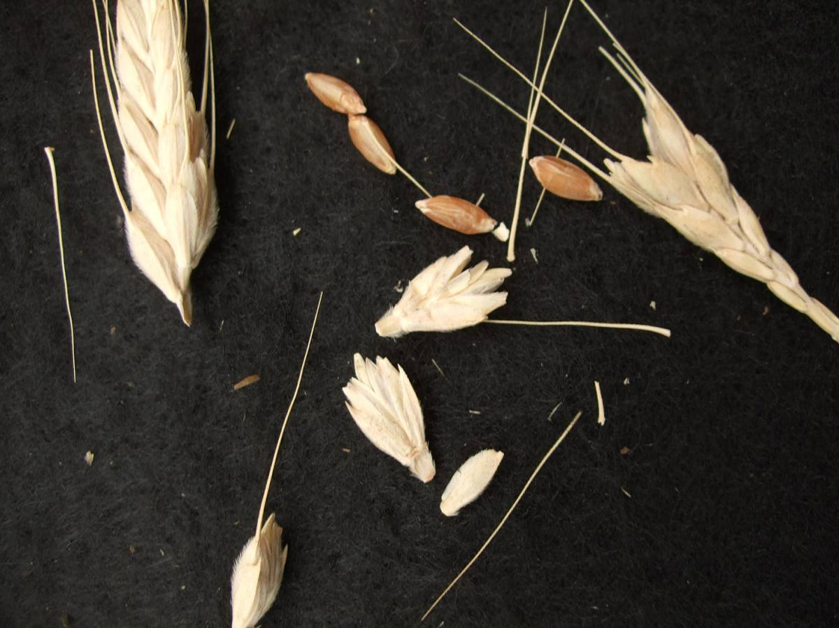 wheat identification images for <a href='http://www.wheat-gateway.org.uk/search.php?send=1&ID=117350&genes=1&bunt_a=1' target='_blank'>Triticum Macha</a> - 5:37pm&nbsp;30<sup>th</sup>&nbsp;Aug.&nbsp;'11