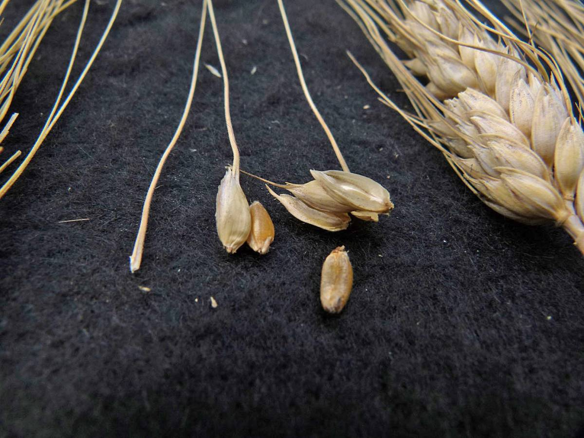 wheat identification images for a wheat found at a Turkish grocery - 12:20pm&nbsp;31<sup>st</sup>&nbsp;Aug.&nbsp;'10