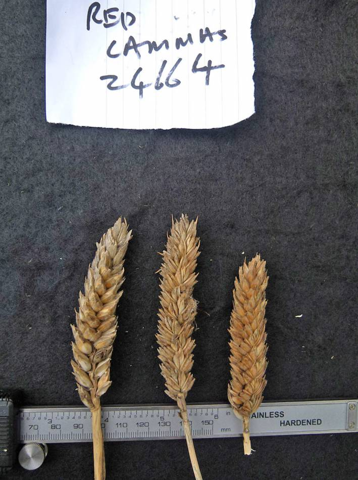 wheat identification images for a mis-identified (velvet) <a href='http://www.wheat-gateway.org.uk/search.php?send=1&ID=118404&genes=1&bunt_a=1' target='_blank'>Red Lammas</a> - 12:01pm&nbsp;31<sup>st</sup>&nbsp;Aug.&nbsp;'10