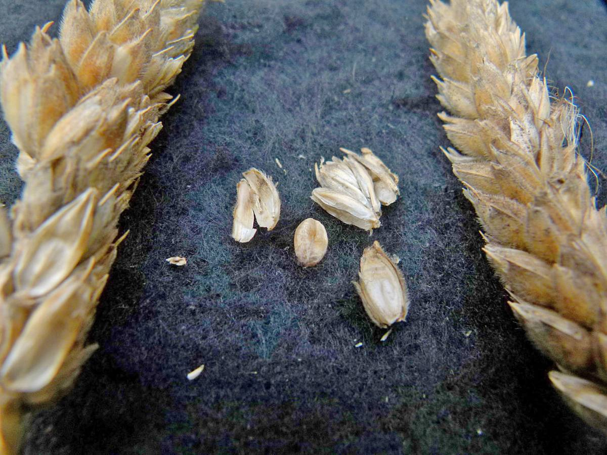 wheat identification images for a mis-identified (velvet) <a href='http://www.wheat-gateway.org.uk/search.php?send=1&ID=118404&genes=1&bunt_a=1' target='_blank'>Red Lammas</a> - 12:03pm&nbsp;31<sup>st</sup>&nbsp;Aug.&nbsp;'10
