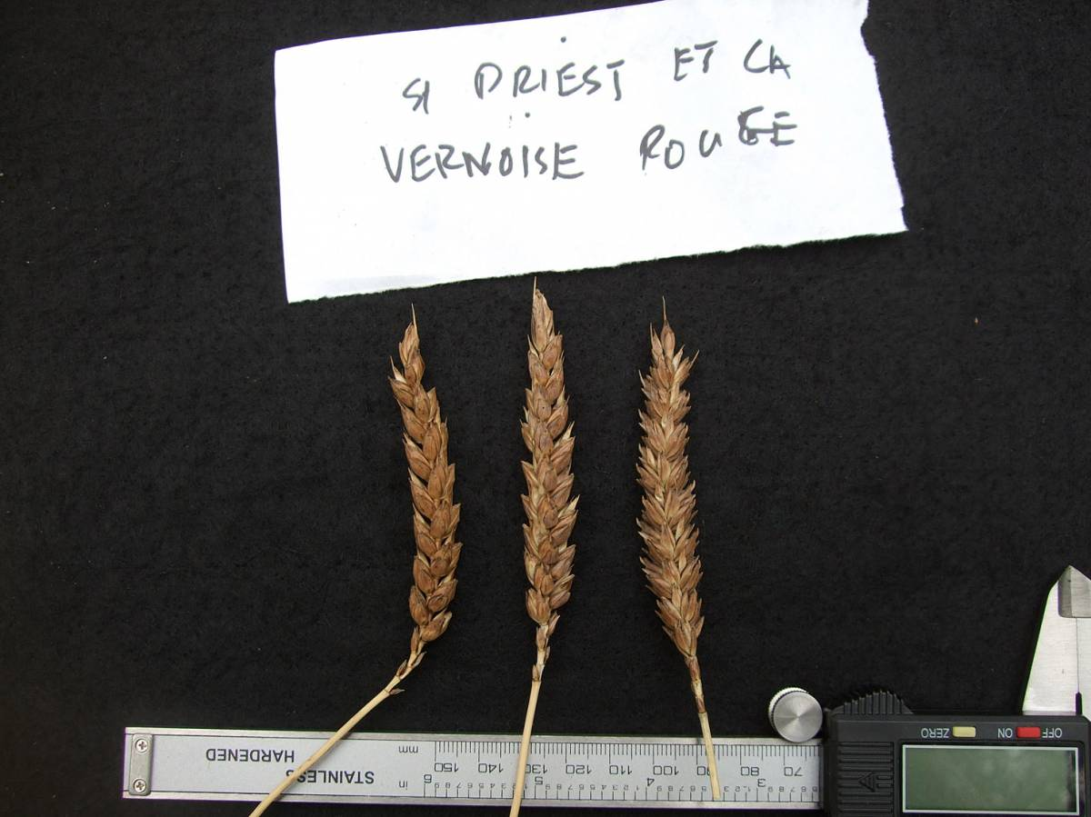wheat identification images for <a href='http://www.wheat-gateway.org.uk/search.php?send=1&ID=41884&genes=1&bunt_a=1' target='_blank'>St. Priest et le Vernois Rouge</a> - 6:36pm&nbsp;29<sup>th</sup>&nbsp;Aug.&nbsp;'11