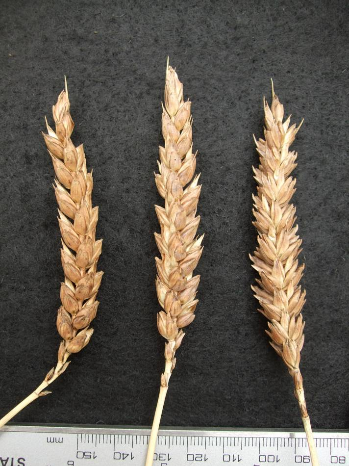 wheat identification images for <a href='http://www.wheat-gateway.org.uk/search.php?send=1&ID=41884&genes=1&bunt_a=1' target='_blank'>St. Priest et le Vernois Rouge</a> - 6:37pm&nbsp;29<sup>th</sup>&nbsp;Aug.&nbsp;'11