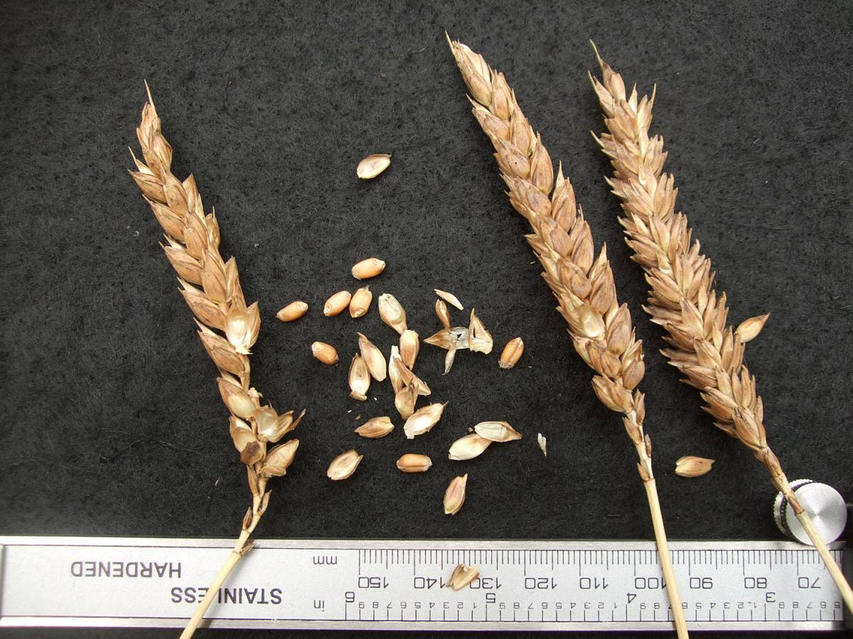wheat identification images for <a href='http://www.wheat-gateway.org.uk/search.php?send=1&ID=41884&genes=1&bunt_a=1' target='_blank'>St. Priest et le Vernois Rouge</a> - 6:40pm&nbsp;29<sup>th</sup>&nbsp;Aug.&nbsp;'11
