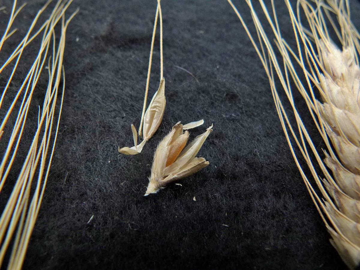 wheat identification images for <a href='http://www.wheat-gateway.org.uk/search.php?send=1&ID=109474&genes=1&bunt_a=1' target='_blank'>Zanduri</a> Triticum timopheevii - 12:24pm&nbsp;31<sup>st</sup>&nbsp;Aug.&nbsp;'10
