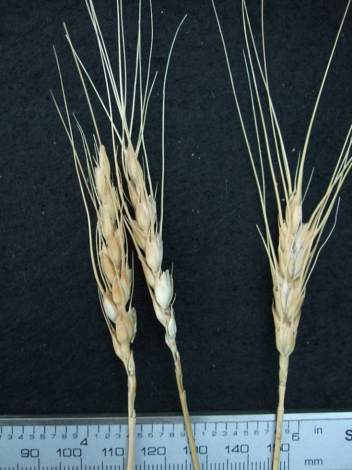 wheat identification images for <a href='http://brockwell-bake.org.uk/wheat/search.php?send=1&ID=108342&genes=1&bunt_a=1' target='_blank'>April Bearded</a> - 6:58pm&nbsp;24<sup>th</sup>&nbsp;Sep.&nbsp;'11