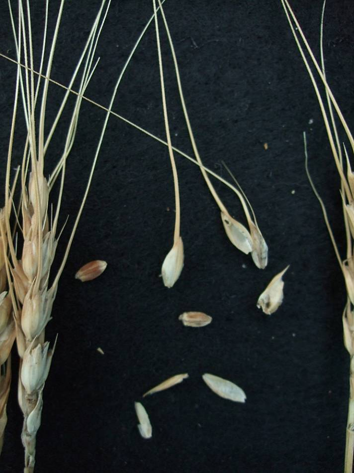 wheat identification images for <a href='http://brockwell-bake.org.uk/wheat/search.php?send=1&ID=108342&genes=1&bunt_a=1' target='_blank'>April Bearded</a> - 6:59pm&nbsp;24<sup>th</sup>&nbsp;Sep.&nbsp;'11