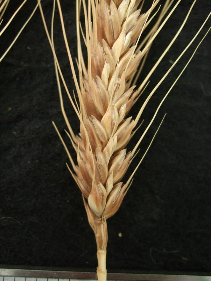 wheat identification images for <a href='http://brockwell-bake.org.uk/wheat/search.php?send=1&ID=42378&genes=1&bunt_a=1' target='_blank'>Aragon 03</a> - 5:46pm&nbsp;10<sup>th</sup>&nbsp;Oct.&nbsp;'11