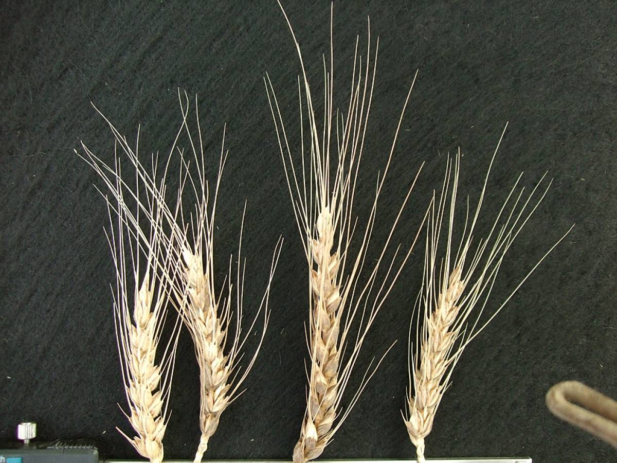 wheat identification images for <a href='http://brockwell-bake.org.uk/wheat/search.php?send=1&ID=44928&genes=1&bunt_a=1' target='_blank'>Asturias A4</a> - 4:28pm&nbsp;9<sup>th</sup>&nbsp;Oct.&nbsp;'11