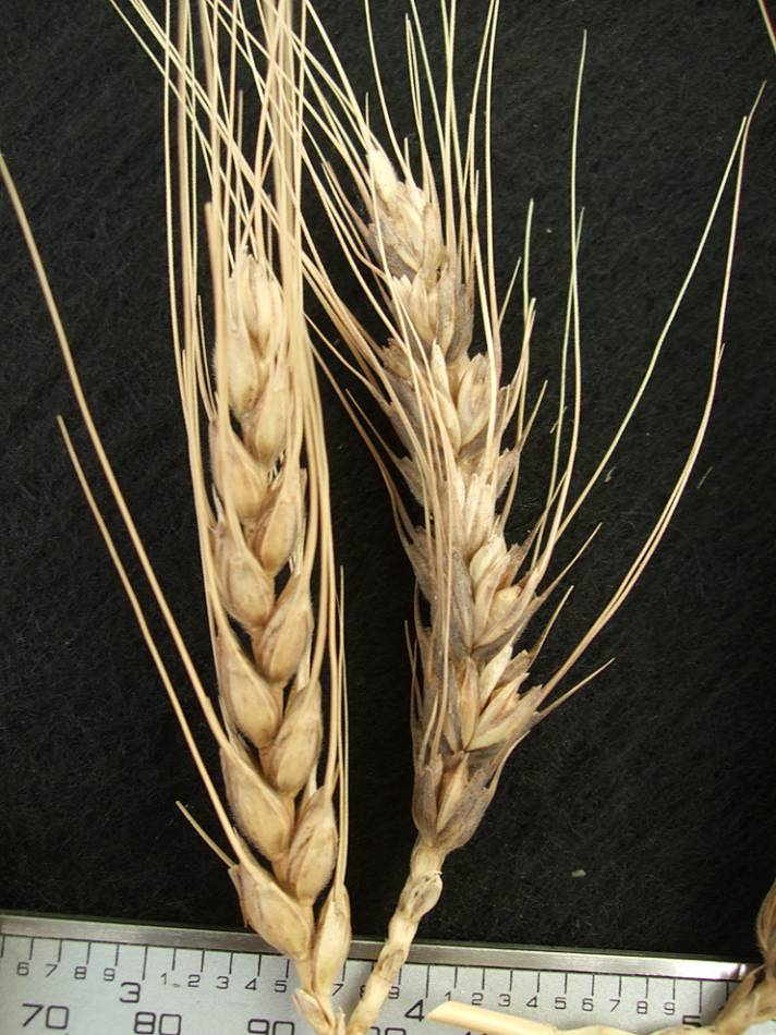 wheat identification images for <a href='http://brockwell-bake.org.uk/wheat/search.php?send=1&ID=44928&genes=1&bunt_a=1' target='_blank'>Asturias A4</a> - 4:29pm&nbsp;9<sup>th</sup>&nbsp;Oct.&nbsp;'11