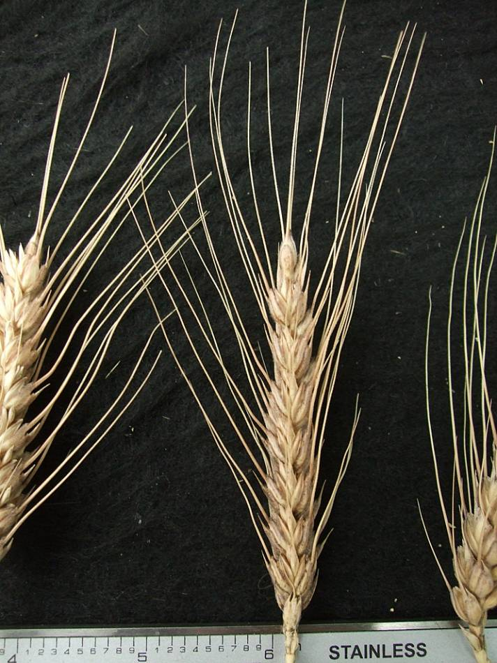 wheat identification images for <a href='http://brockwell-bake.org.uk/wheat/search.php?send=1&ID=44956&genes=1&bunt_a=1' target='_blank'>Asturias H3</a> - 5:52pm&nbsp;10<sup>th</sup>&nbsp;Oct.&nbsp;'11