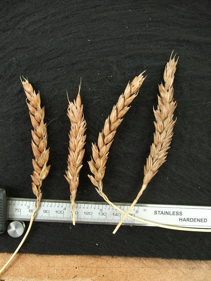 wheat identification images for <a href='http://brockwell-bake.org.uk/wheat/search.php?send=1&ID=45073&genes=1&bunt_a=1' target='_blank'>Asturias B1</a> - 4:41pm&nbsp;9<sup>th</sup>&nbsp;Oct.&nbsp;'11