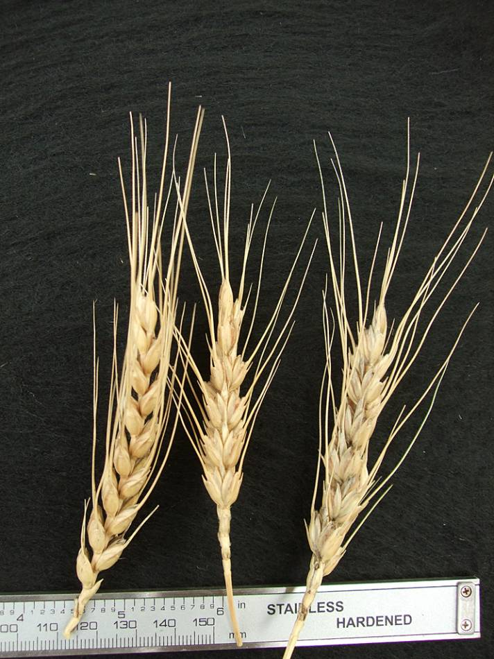 wheat identification images for <a href='http://brockwell-bake.org.uk/wheat/search.php?send=1&ID=44267&genes=1&bunt_a=1' target='_blank'>Barbela </a>? - 4:38pm&nbsp;9<sup>th</sup>&nbsp;Oct.&nbsp;'11