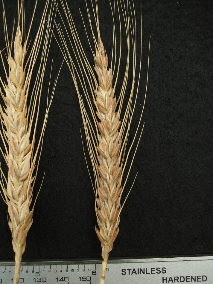 wheat identification images for <a href='http://brockwell-bake.org.uk/wheat/search.php?send=1&ID=44267&genes=1&bunt_a=1' target='_blank'>Barbela </a>? - 5:03pm&nbsp;25<sup>th</sup>&nbsp;Sep.&nbsp;'11