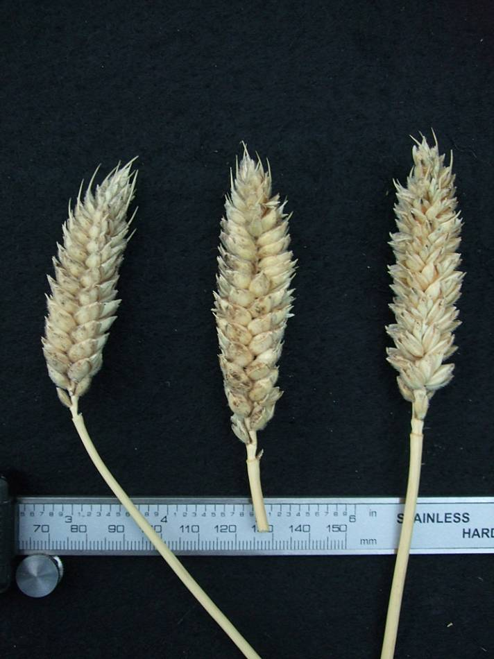 wheat identification images for <a href='http://brockwell-bake.org.uk/wheat/search.php?send=1&ID=109274&genes=1&bunt_a=1' target='_blank'>Benefactor</a> - 7:08pm&nbsp;24<sup>th</sup>&nbsp;Sep.&nbsp;'11