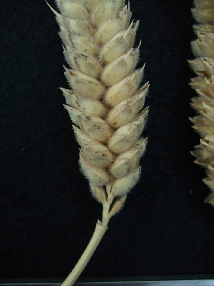 wheat identification images for <a href='http://brockwell-bake.org.uk/wheat/search.php?send=1&ID=109274&genes=1&bunt_a=1' target='_blank'>Benefactor</a> - 7:09pm&nbsp;24<sup>th</sup>&nbsp;Sep.&nbsp;'11