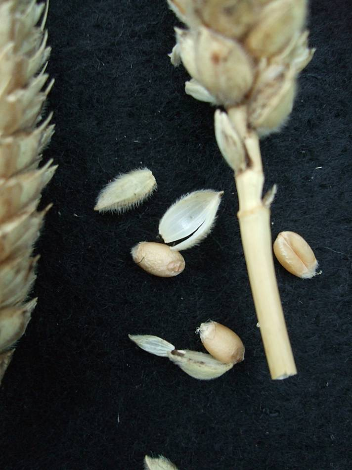 wheat identification images for <a href='http://brockwell-bake.org.uk/wheat/search.php?send=1&ID=109274&genes=1&bunt_a=1' target='_blank'>Benefactor</a> - 7:10pm&nbsp;24<sup>th</sup>&nbsp;Sep.&nbsp;'11