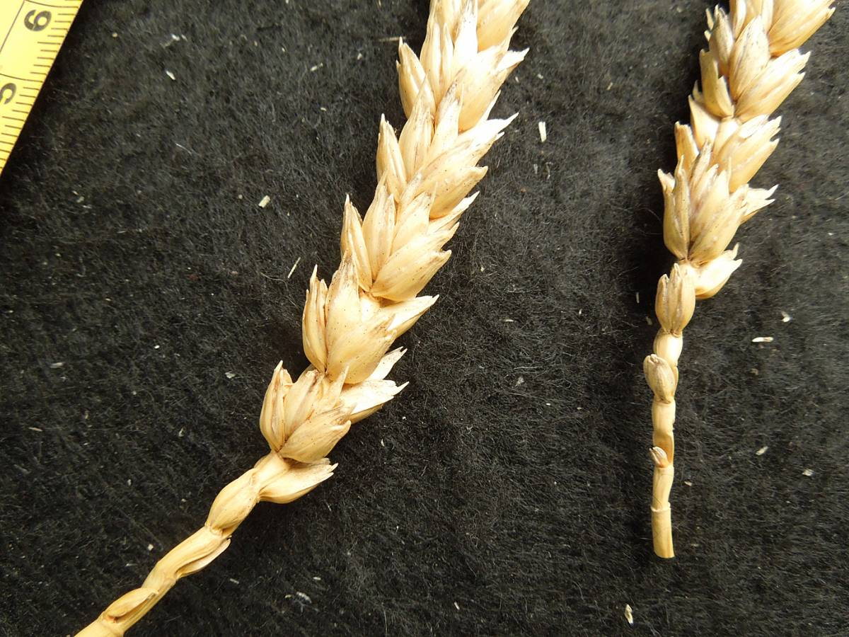 wheat identification images for <a href='http://brockwell-bake.org.uk/wheat/search.php?send=1&ID=5422&genes=1&bunt_a=1' target='_blank'>Blanc de Flandre</a> - 6:02pm&nbsp;4<sup>th</sup>&nbsp;Sep.&nbsp;'12