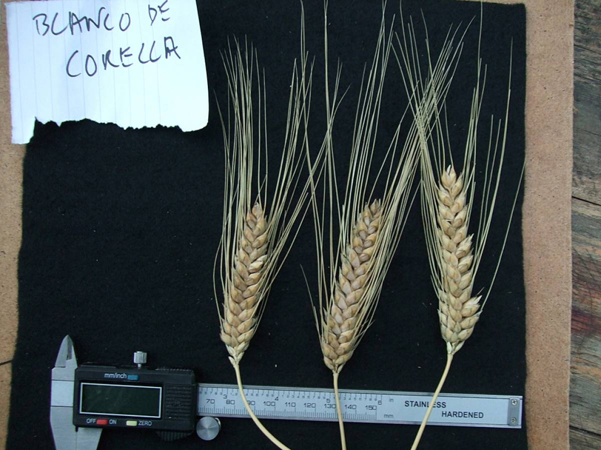 wheat identification images for <a href='http://www.wheat-gateway.org.uk/search.php?send=1&ID=44166&genes=1&bunt_a=1' target='_blank'>Blanco de Corella</a> - 7:11pm&nbsp;24<sup>th</sup>&nbsp;Sep.&nbsp;'11