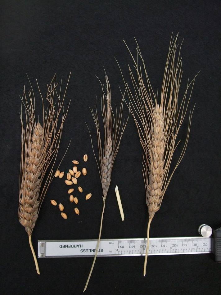 wheat identification images for  <a href='http://www.wheat-gateway.org.uk/search.php?send=1&ID=109320&genes=1&bunt_a=1' target='_blank'>Blue Cone Rivet</a> - 5:29pm&nbsp;29<sup>th</sup>&nbsp;Aug.&nbsp;'11