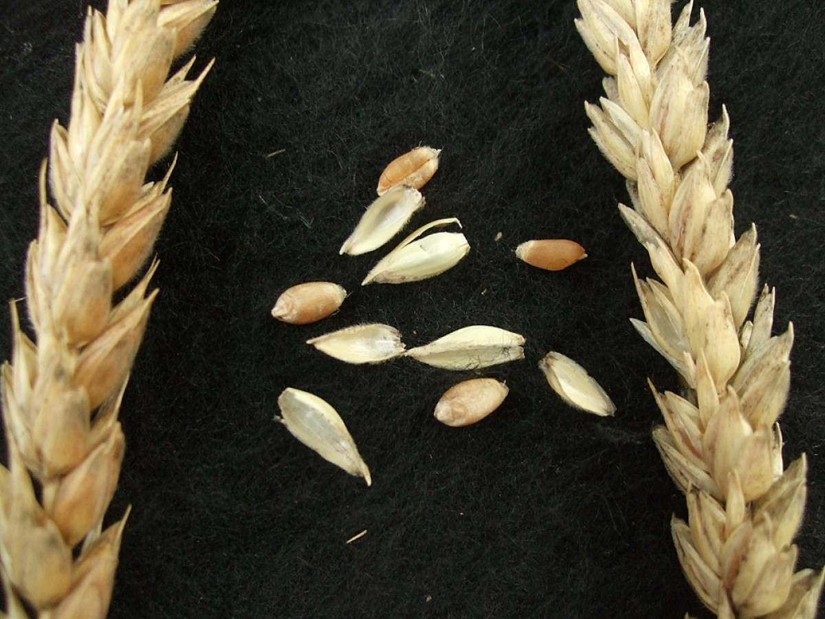 wheat identification images for <a href='http://www.wheat-gateway.org.uk/search.php?send=1&ID=42433&genes=1&bunt_a=1' target='_blank'>Blanco de Segarra</a> - 4:36pm&nbsp;9<sup>th</sup>&nbsp;Oct.&nbsp;'11