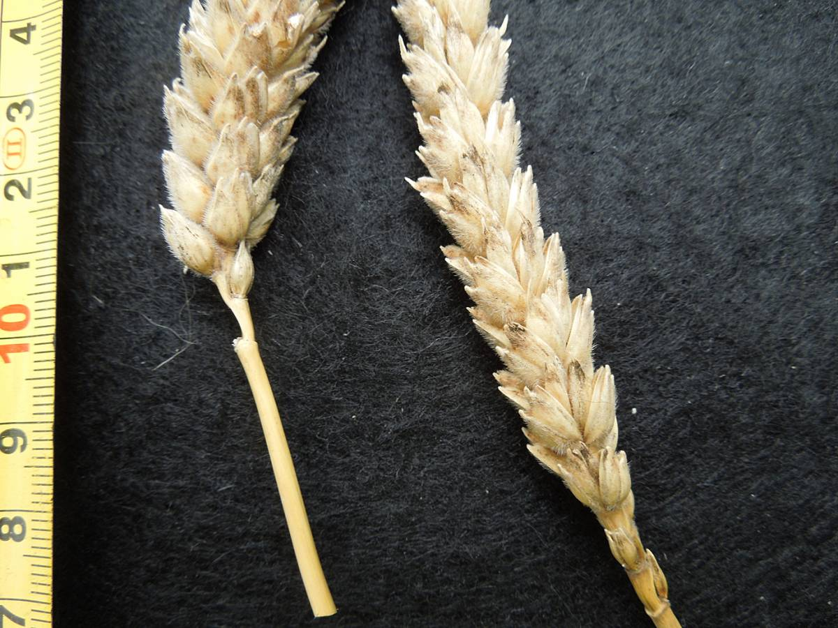 wheat identification images for <a href='http://www.wheat-gateway.org.uk/search.php?send=1&ID=798&genes=1&bunt_a=1' target='_blank'>Ble Blanc a Duvet Veloute</a> - 12:03pm&nbsp;29<sup>th</sup>&nbsp;Aug.&nbsp;'12