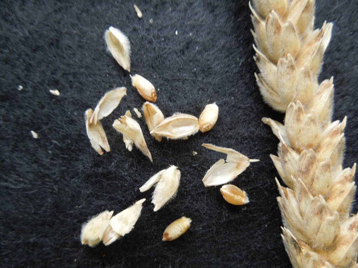 wheat identification images for <a href='http://www.wheat-gateway.org.uk/search.php?send=1&ID=798&genes=1&bunt_a=1' target='_blank'>Ble Blanc a Duvet Veloute</a> - 12:04pm&nbsp;29<sup>th</sup>&nbsp;Aug.&nbsp;'12