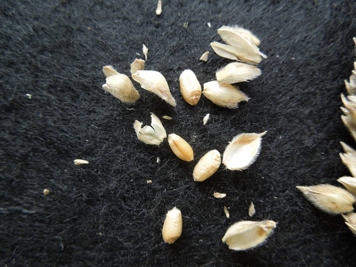 wheat identification images for <a href='http://www.wheat-gateway.org.uk/search.php?send=1&ID=798&genes=1&bunt_a=1' target='_blank'>Ble Blanc a Duvet Veloute</a> - 12:06pm&nbsp;29<sup>th</sup>&nbsp;Aug.&nbsp;'12