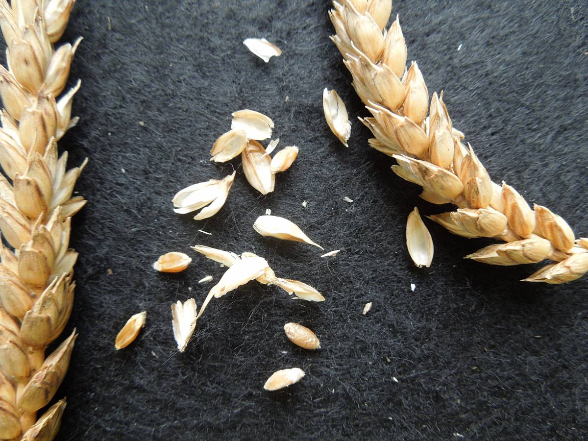 wheat identification images for <a href='http://www.wheat-gateway.org.uk/search.php?send=1&ID=1334&genes=1&bunt_a=1' target='_blank'>Rouge d'Ecosse</a> - 12:49pm&nbsp;29<sup>th</sup>&nbsp;Aug.&nbsp;'12