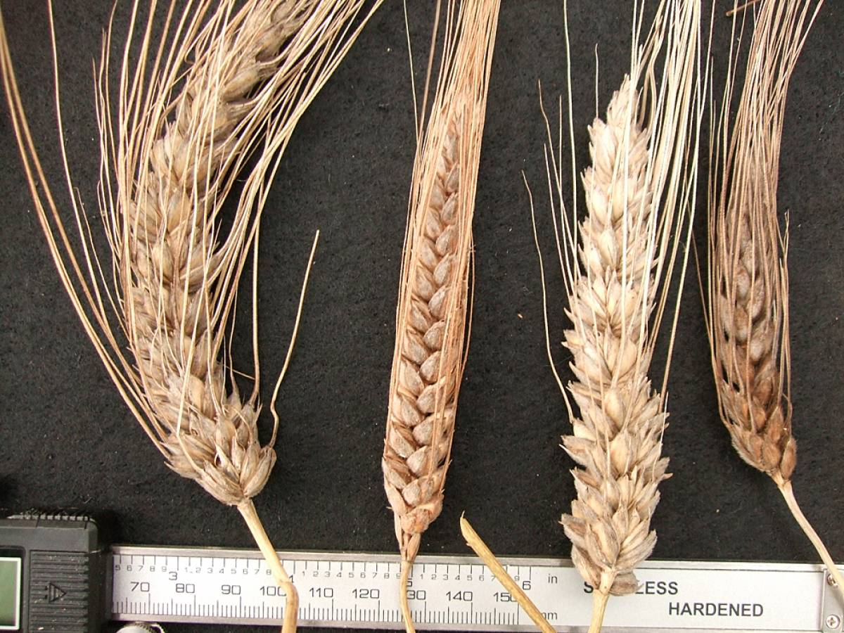 wheat identification images for <a href='http://www.wheat-gateway.org.uk/search.php?send=1&ID=109320&genes=1&bunt_a=1' target='_blank'>Blue Cone Rivet</a> - 6:48pm&nbsp;24<sup>th</sup>&nbsp;Sep.&nbsp;'11